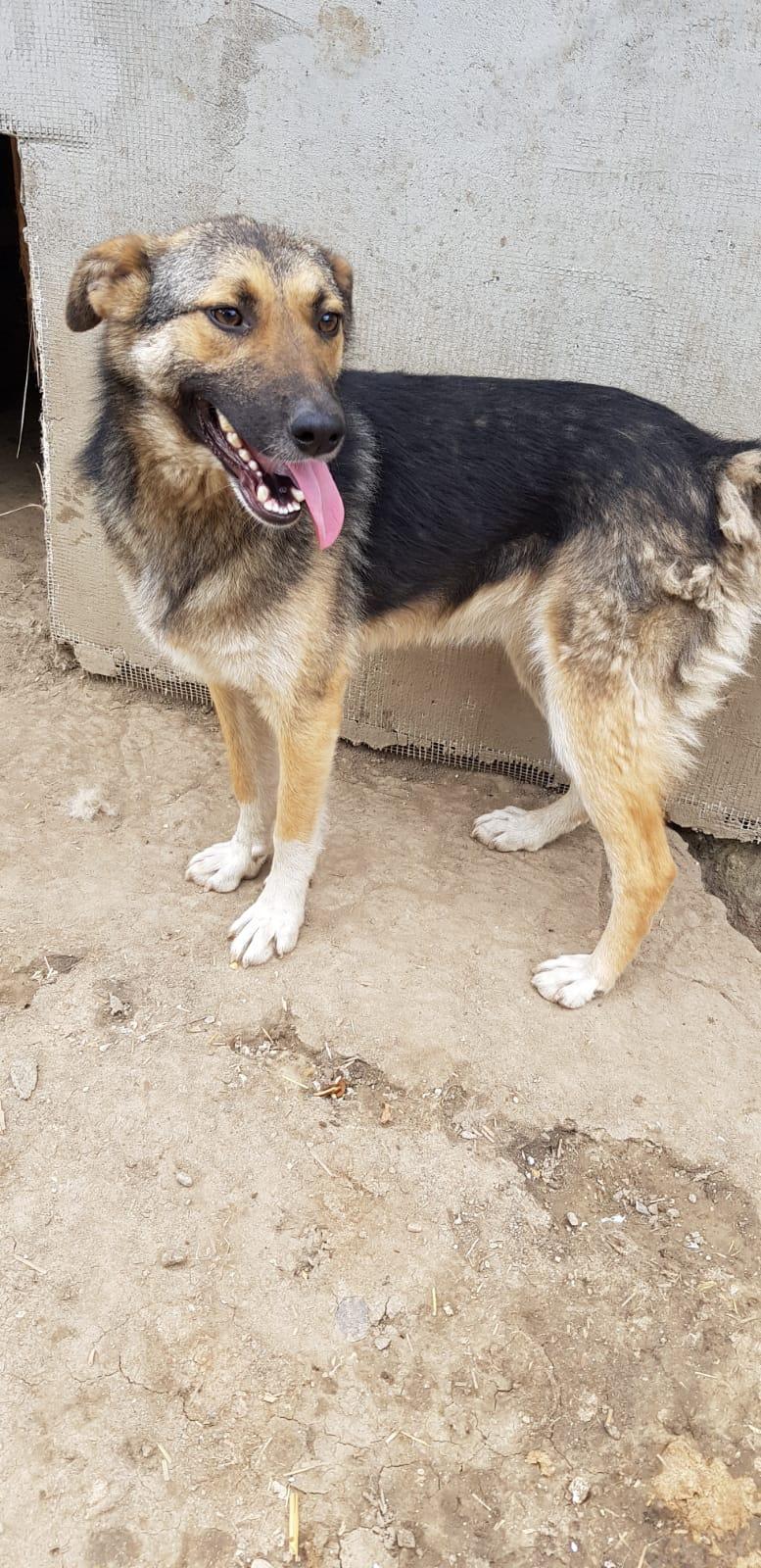 FLAVIA, femelle, couleur charbonnée, née en sept 2016 (chiot d'AKELA) - Famille sauvée par Lenuta dans un champ- PARRAINEE PAR NATHALIE GAMBLIN R-SOS- Flavia15