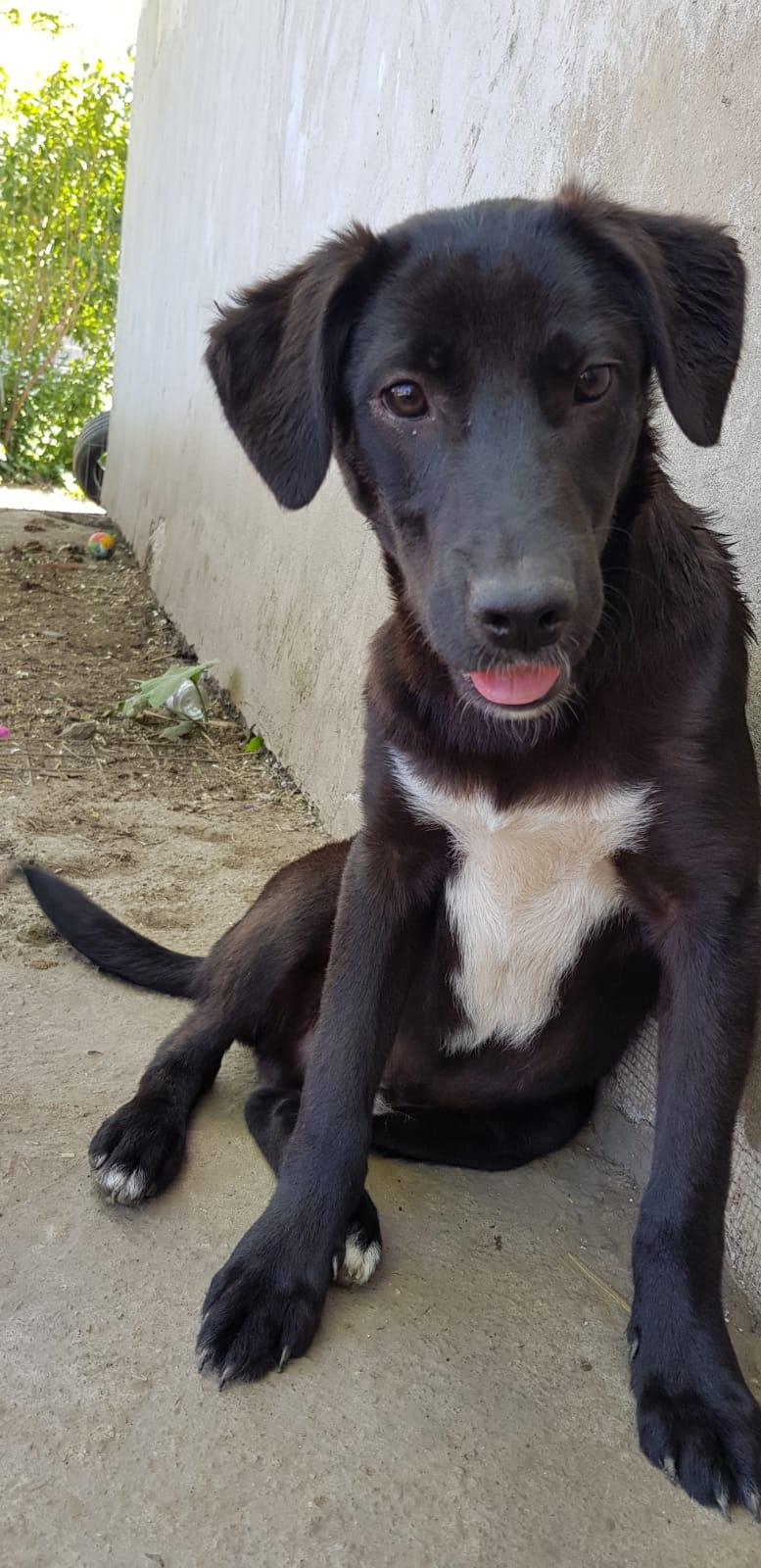 Christo - CHRISTO, mâle, noir poitrail blanc, né en NOV 2017, portée de Naola trouvé enfermé dans un sac- Marrainé par Magda D. -R-SC Orco_512