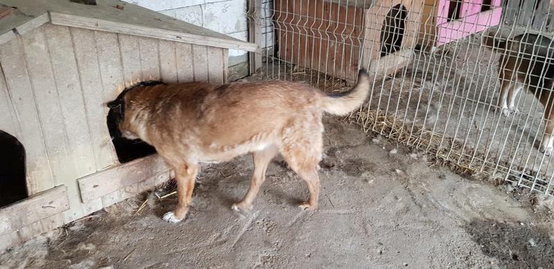 RELKO, croisé berger, né en 2014,sorti de l'équarrissage fin Avril 2017- marrainé par Maousse54 et Yemtsi -R-SC Relko_10