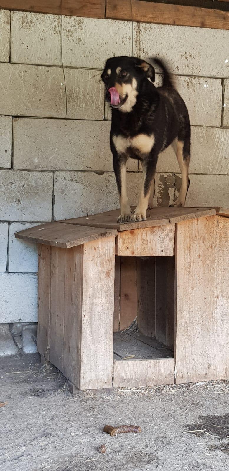 SOUKI, Femelle type berger, née en 2014 - Noire et crème- marrainée par Myri_Bonnie -R-SC-SOS- Souki_13