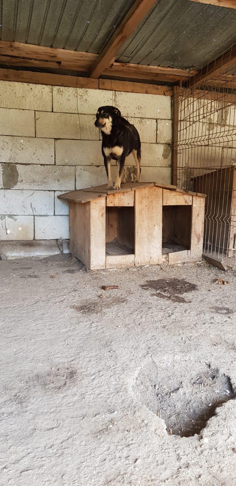 SOUKI, Femelle type berger, née en 2014 - Noire et crème- marrainée par Myri_Bonnie -R-SC-SOS- Souki_17