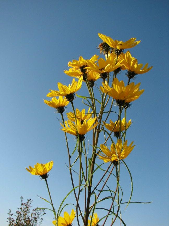 Sonnenblumen(artige) - Heliantheae - Seite 4 Hel_sa12