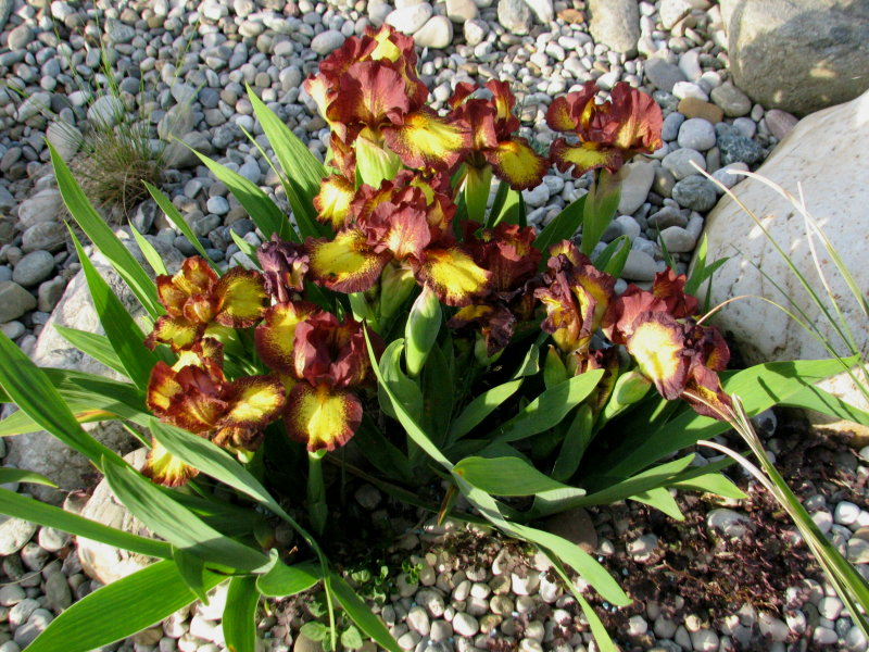 unser Kiesgarten - Seite 3 Iris_r10