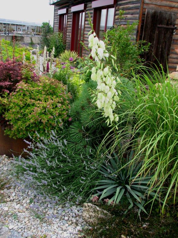unser Kiesgarten - Seite 3 Yuccab10
