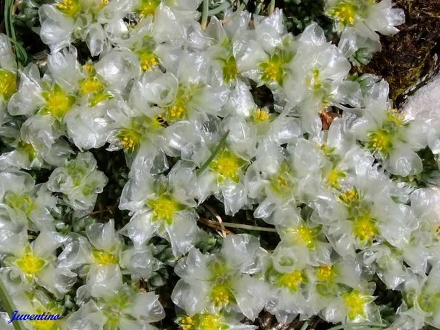Paronychia  Parony10