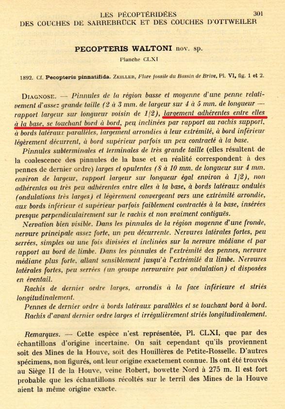 Pecopteris (Brongniart ) , Sternberg 1825. - Page 3 Pwalto10