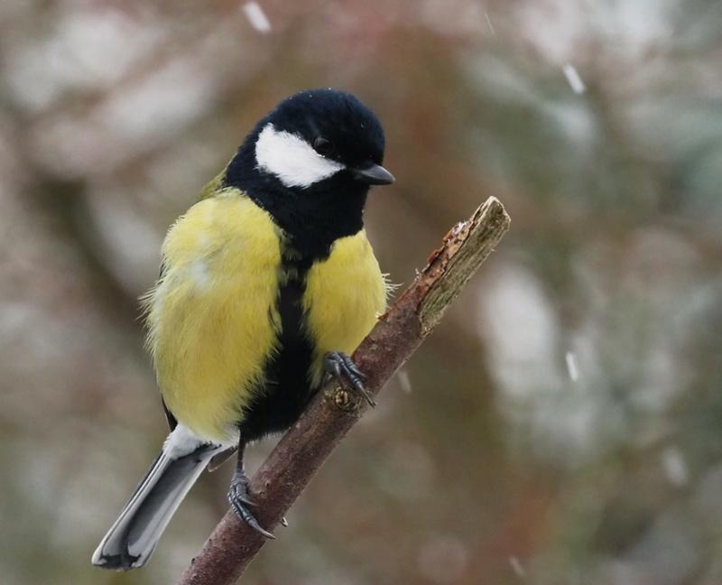 Oiseaux du jardin. P2061915