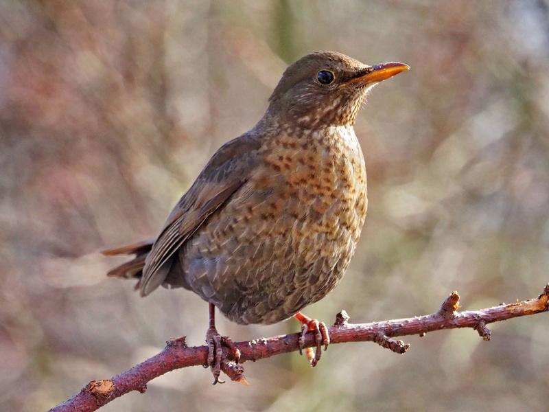 Oiseaux du jardin. P2272110