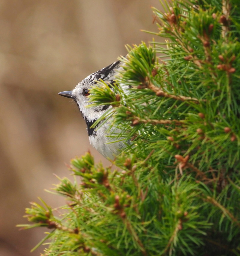 Oiseaux du jardin. P3062210