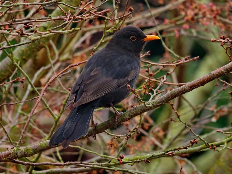 Oiseaux du jardin. P3072210