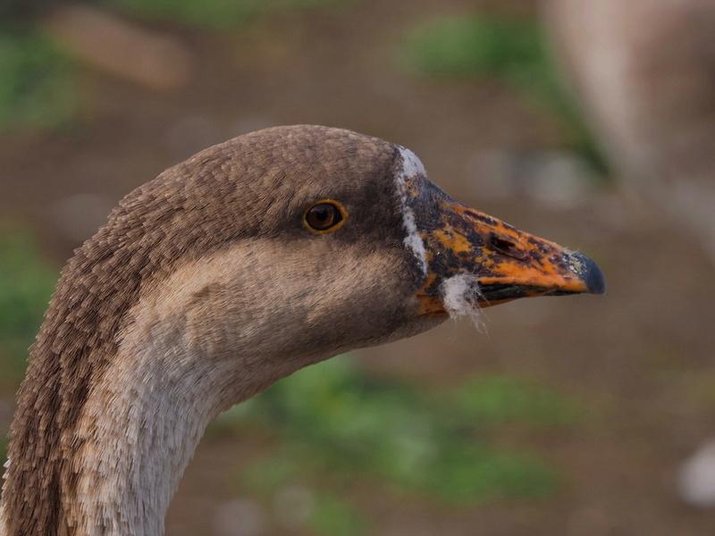 Photos d'oiseaux. P9033811
