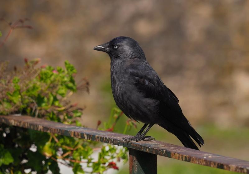 Photos d'oiseaux. P9033812