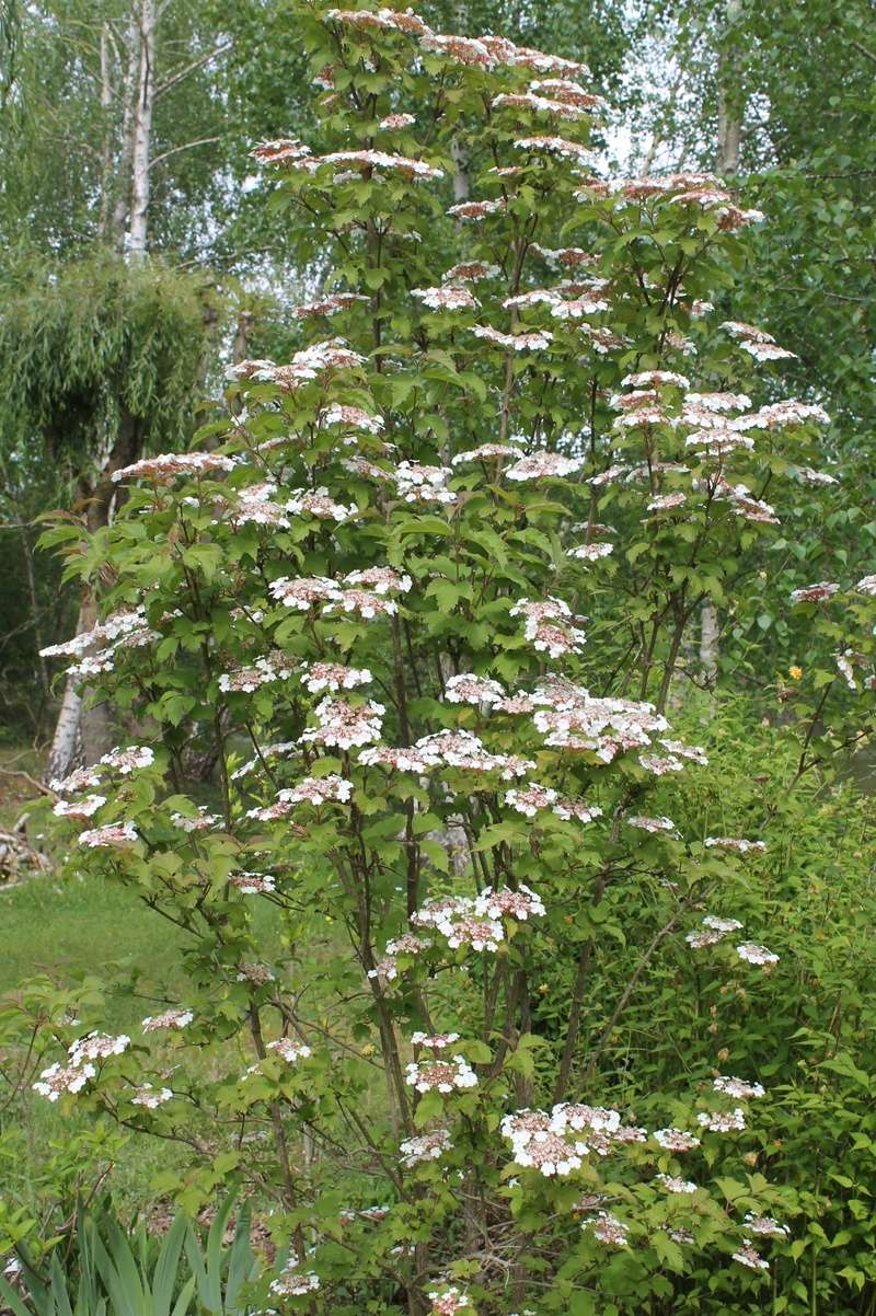 Viburnum sargentii 'Onondaga' 00110