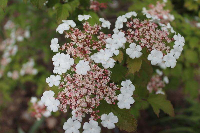 Viburnum sargentii 'Onondaga' 00411