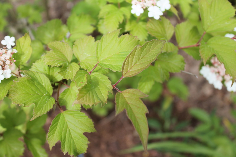 Viburnum sargentii 'Onondaga' 00510