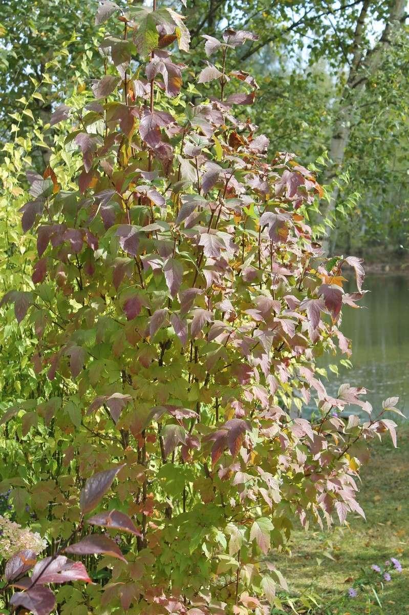 Viburnum sargentii 'Onondaga' Fleurs10