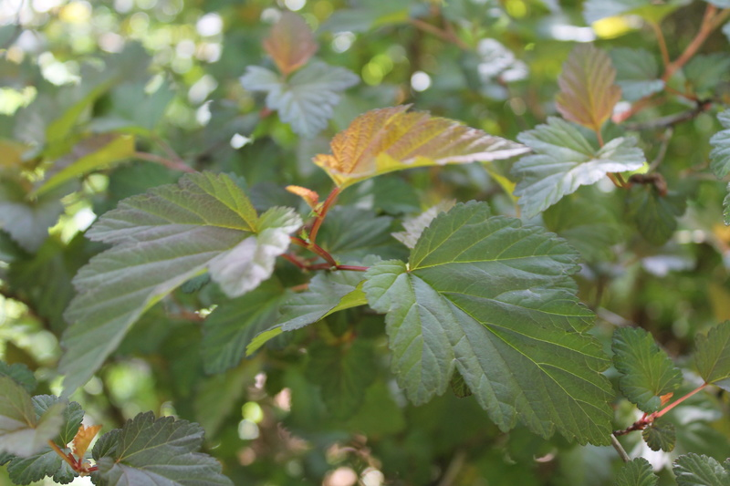 Physocarpus opulifolius - Page 2 Physoc11