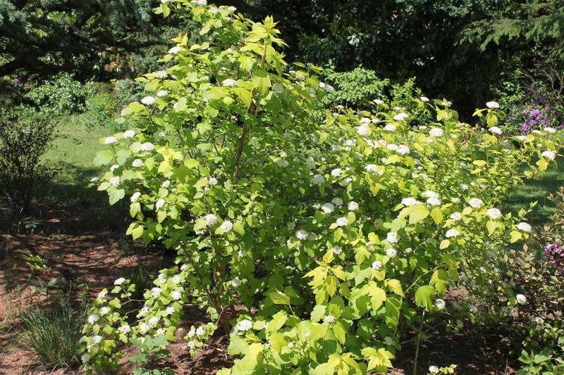 Physocarpus opulifolius - Page 2 Physoc13