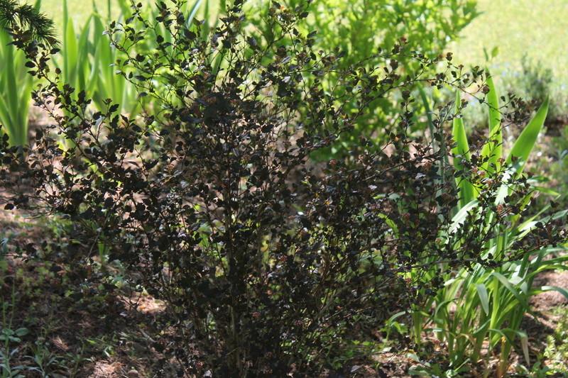 Physocarpus opulifolius - Page 2 Physoc14