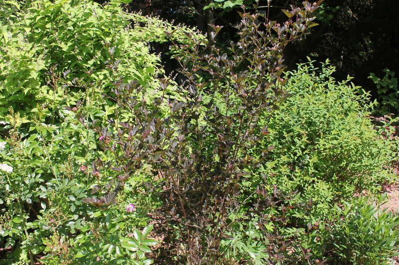 Physocarpus opulifolius - Page 2 Physoc15