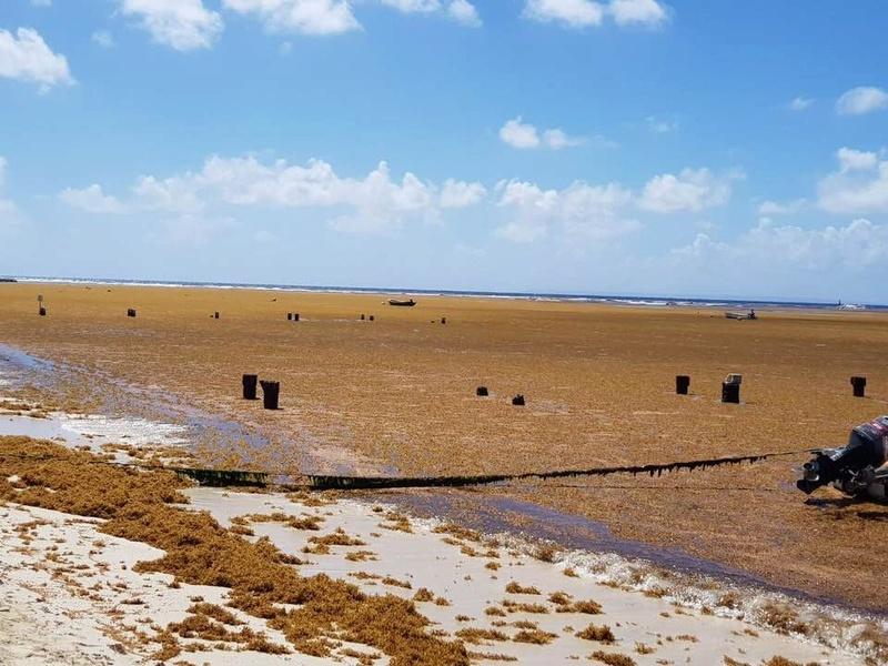 La peste brune de retour aux Antilles Image65
