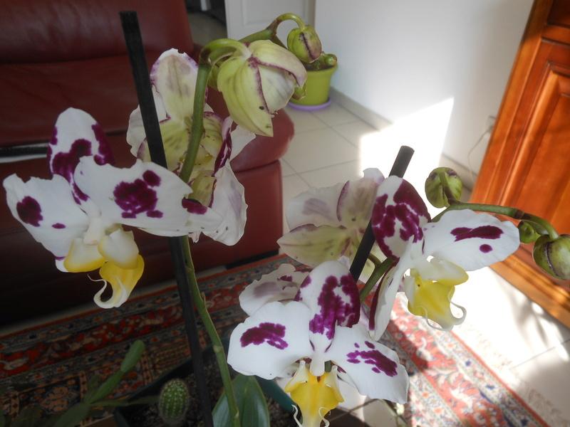 floraisons des orchidées - Page 43 Dscn7711