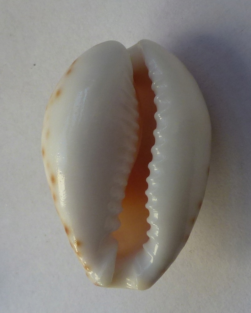cypraeidae d'Oman Cy210