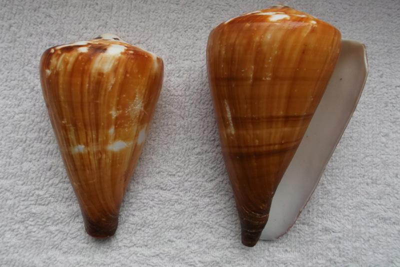 Rhizoconus vexillum (Gmelin, 1791)   Dscf0410