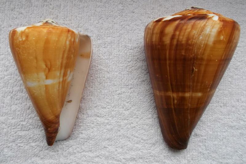 Rhizoconus vexillum (Gmelin, 1791)   Dscf0411