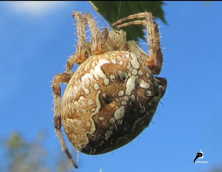 Il découvre une effroyable araignée recouverte de dizaines de bébés Araign10
