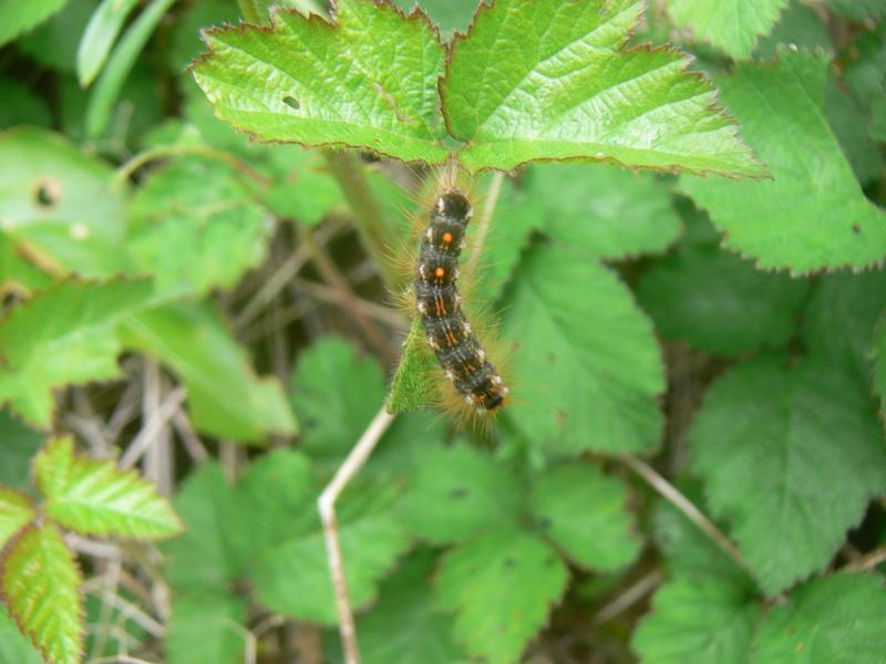 chenille d'Euproctis chrysorrhoea et Lymantria dispar P1280921