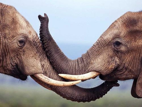 Puzzle #75 / Les éléphants Elepha10
