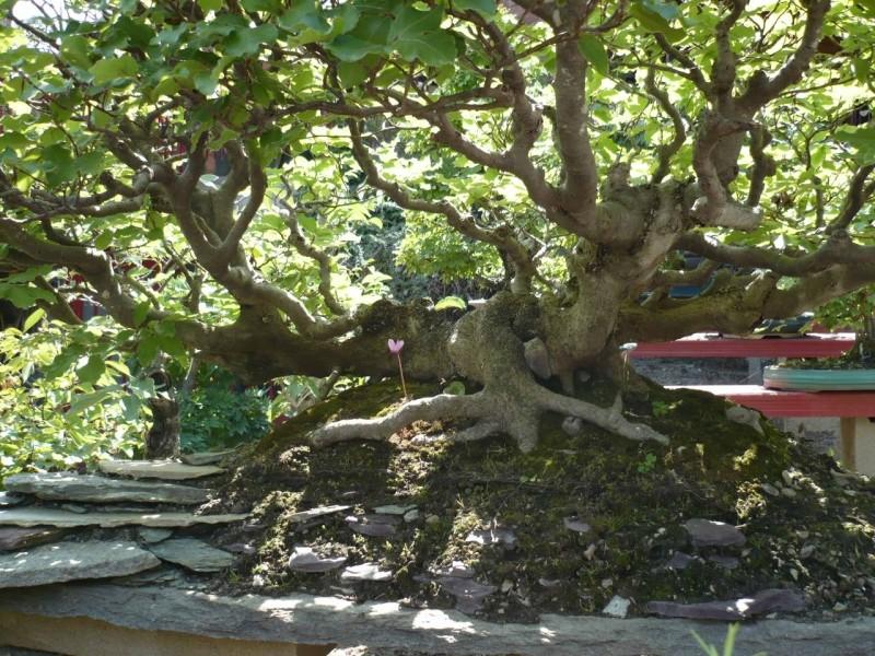 Per gli amanti del bonsai........ P1010418