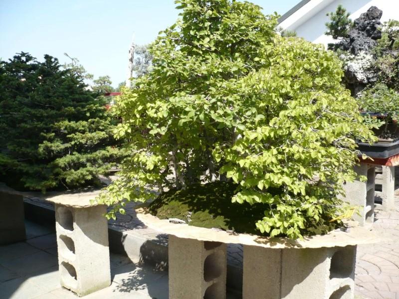 Per gli amanti del bonsai........ P1010422