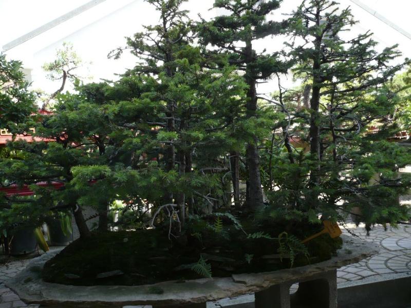 Per gli amanti del bonsai........ P1010424