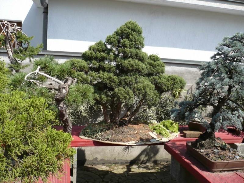 Per gli amanti del bonsai........ P1010428