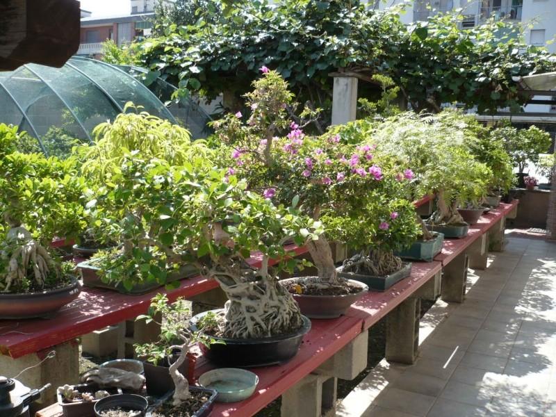 Per gli amanti del bonsai........ P1010429
