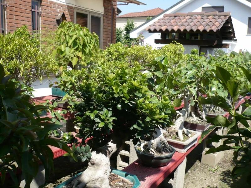 Per gli amanti del bonsai........ P1010431
