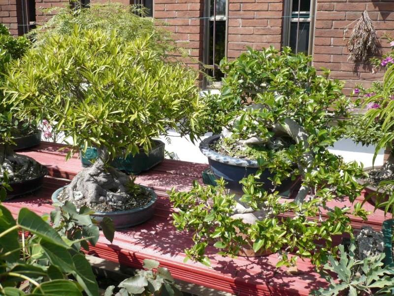 Per gli amanti del bonsai........ P1010432