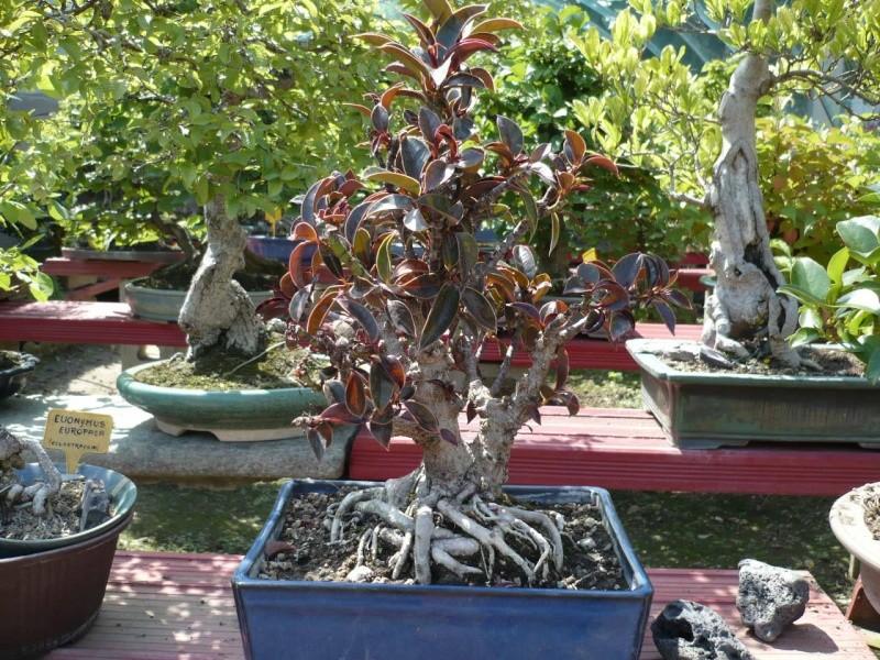 Per gli amanti del bonsai........ P1010433