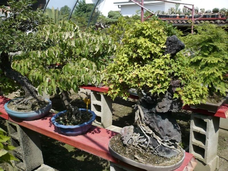 Per gli amanti del bonsai........ P1010435