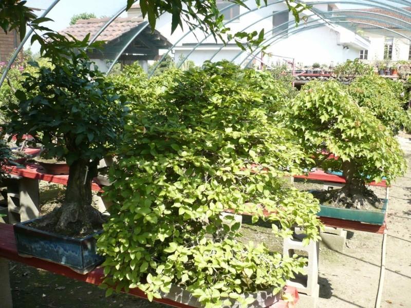 Per gli amanti del bonsai........ P1010436