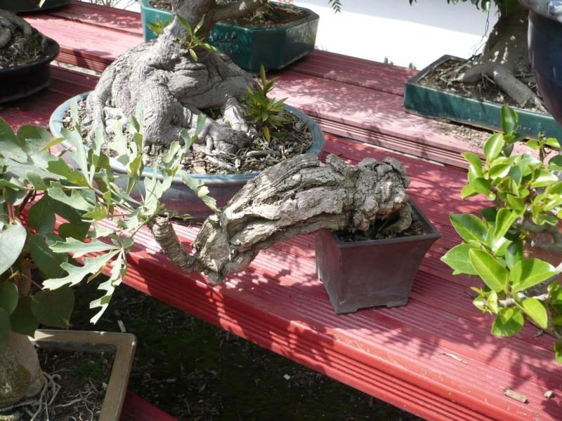 Per gli amanti del bonsai........ P1010440