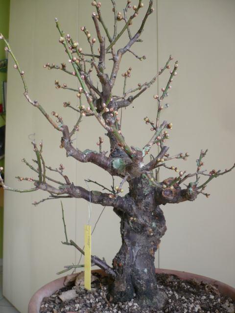 RESTYLING.....Prunus mume. P1020210