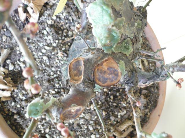 RESTYLING.....Prunus mume. P1020211