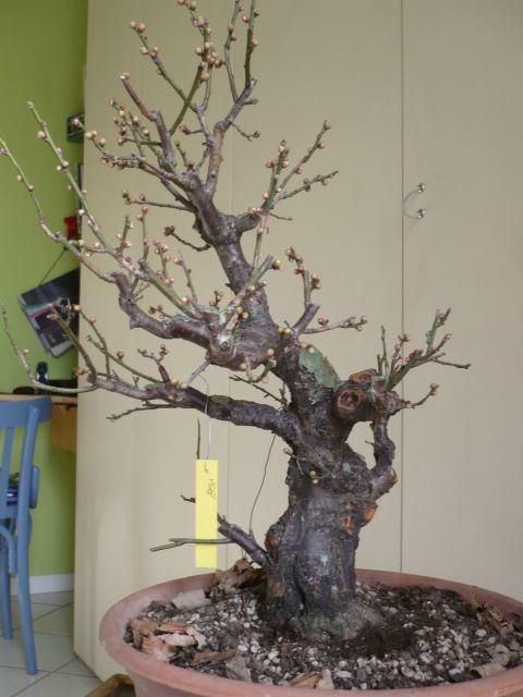 RESTYLING.....Prunus mume. P1020213