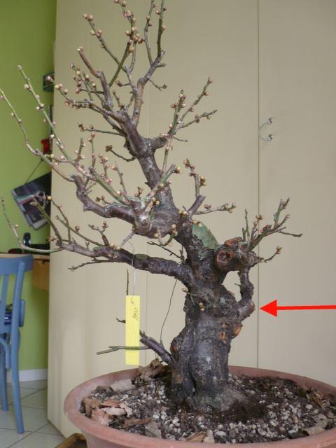 RESTYLING.....Prunus mume. P1020215