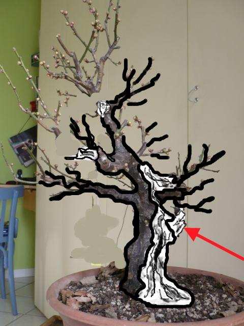 RESTYLING.....Prunus mume. P1020216