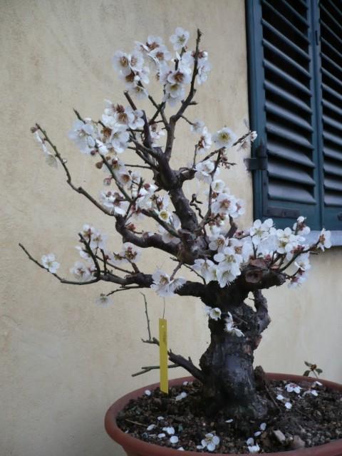 RESTYLING.....Prunus mume. P1020510