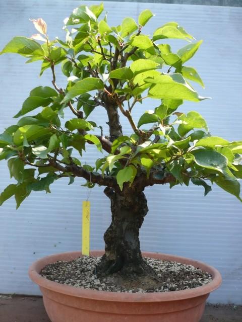 RESTYLING.....Prunus mume. P1030010